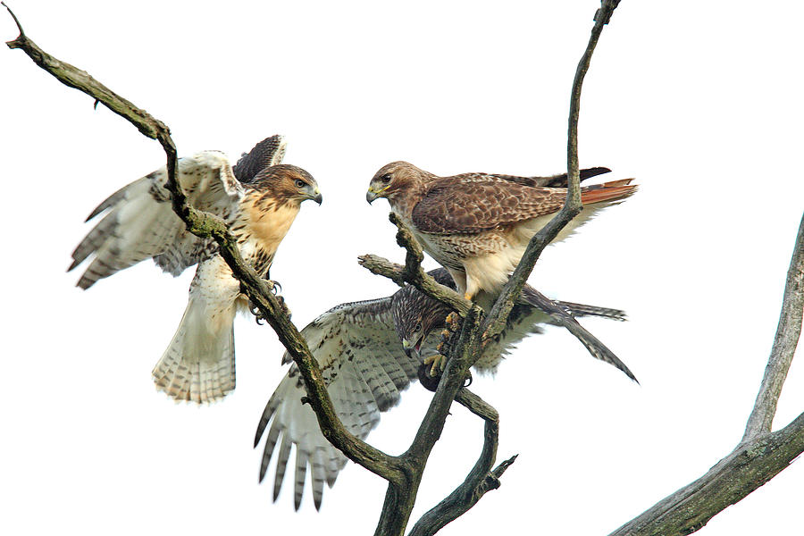 Red-tail Hawk Photograph - Red-tail Family by Denny Bingaman