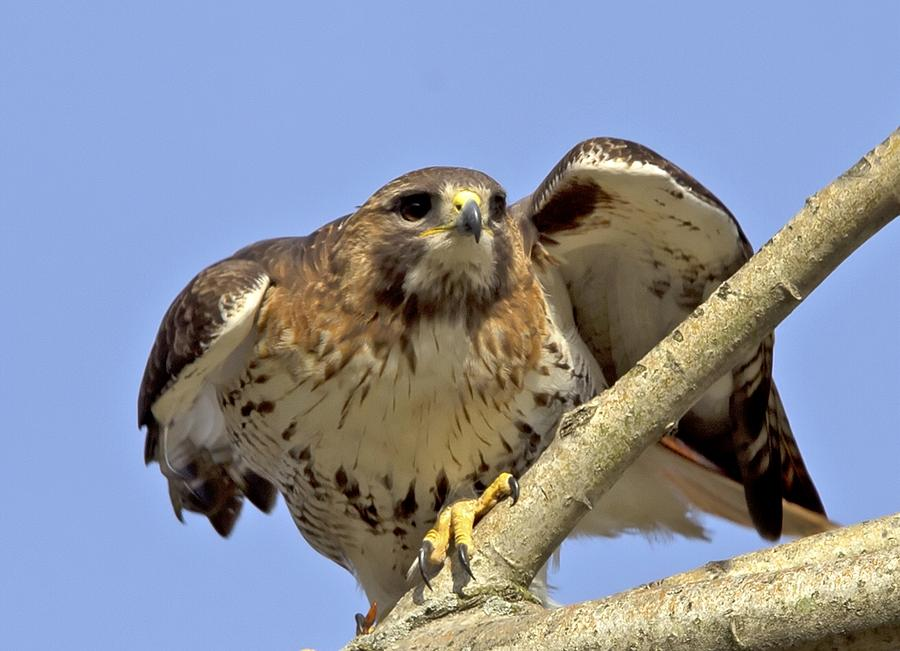 Red Tail Photograph - Red Tail Hawk Closeup by Ron Sgrignuoli