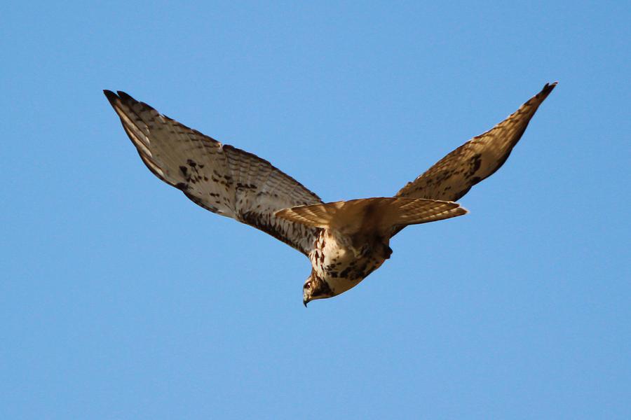 Red Tail Hawk Photograph - Red Tail Hawk by DK Hawk
