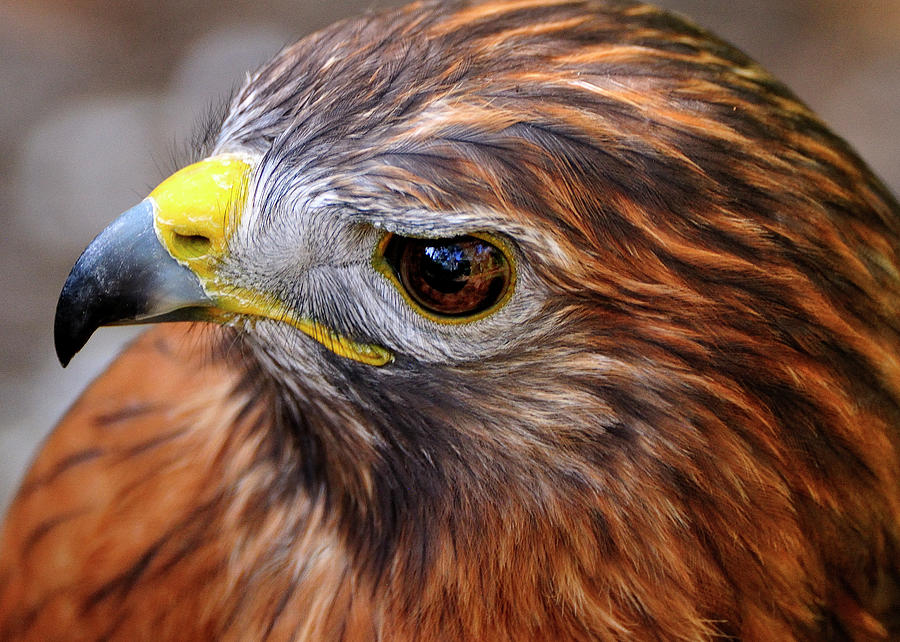 Red-tailed Photograph - Red-tailed Hawk Close Up by Bill Dodsworth