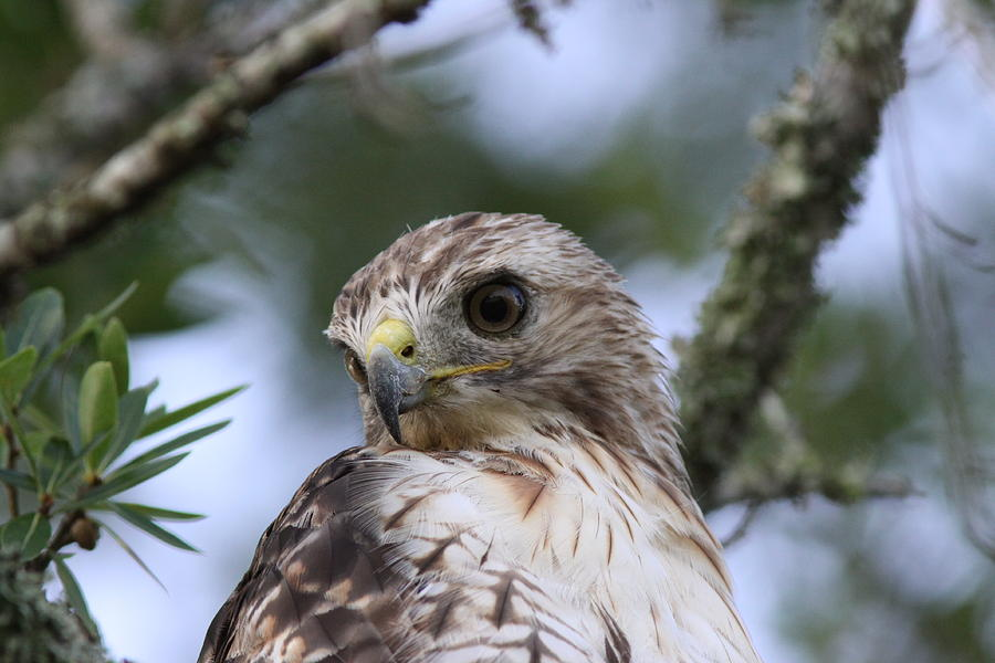 Raptor Photograph - Red-tailed Hawk Has Superior Vision by Travis Truelove
