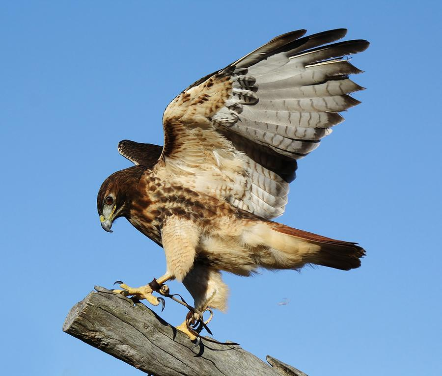 Birds Of Prey Photograph - Red Tailed Hawk by Paulette Thomas
