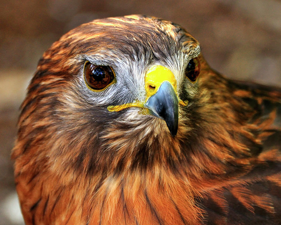 Red-tailed Photograph - Red-tailed Hawk Portrait by Bill Dodsworth