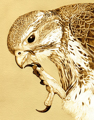 Hawk Drawing - Red Tailed Hawk Portrait by Cate McCauley