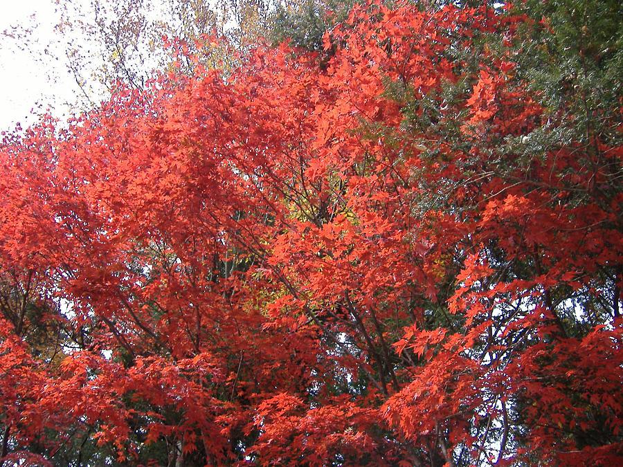 Japan Photograph - Red Tree by Naxart Studio