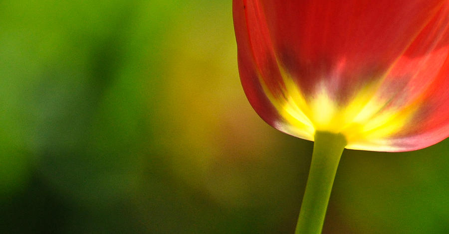 Tulip Photograph - Red Tulip 2 by Ronda Broatch