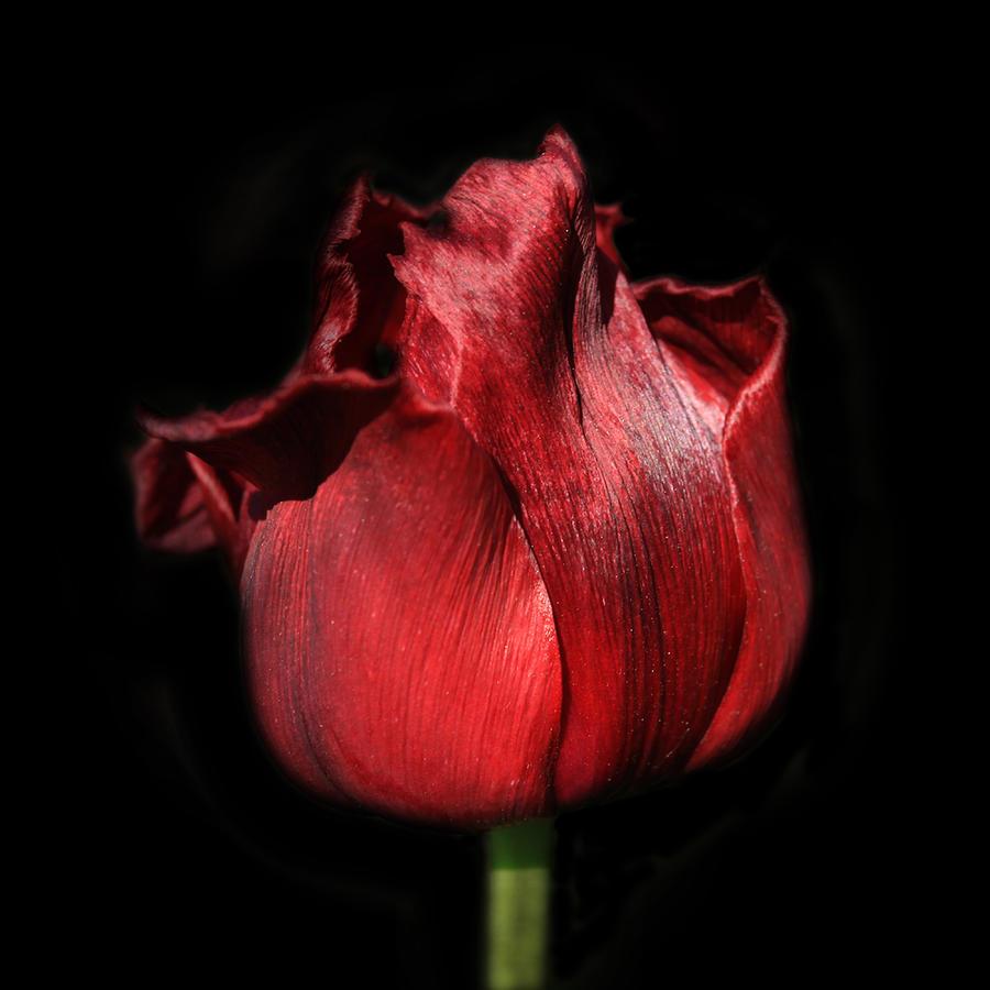 Tulip Photograph - Red Tulip by Martin Crush