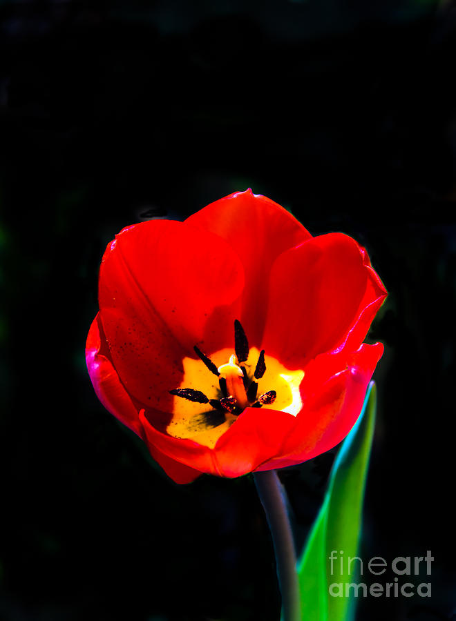 Plants Photograph - Red Tulip by Robert Bales