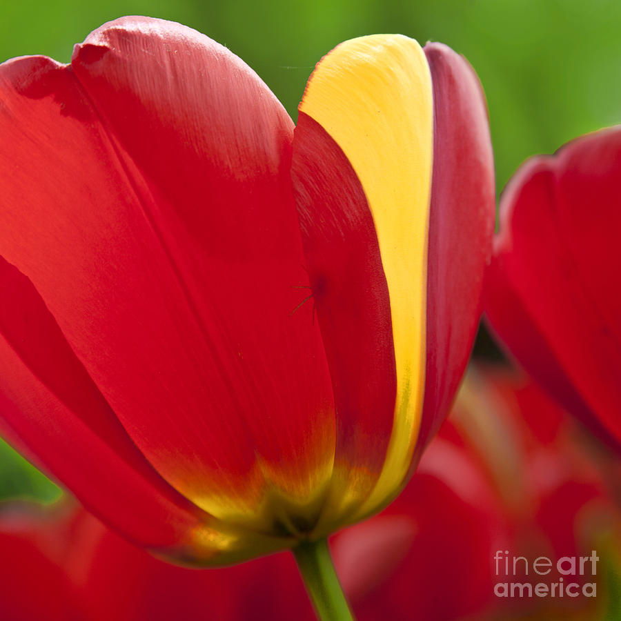 Red Tulips 1 Photograph