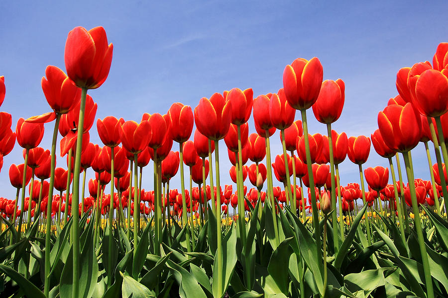 Tulips Photograph - Red Tulips by Kean Poh Chua