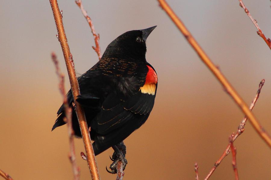 Bird Photograph - Red Wing Black Bird by DK Hawk