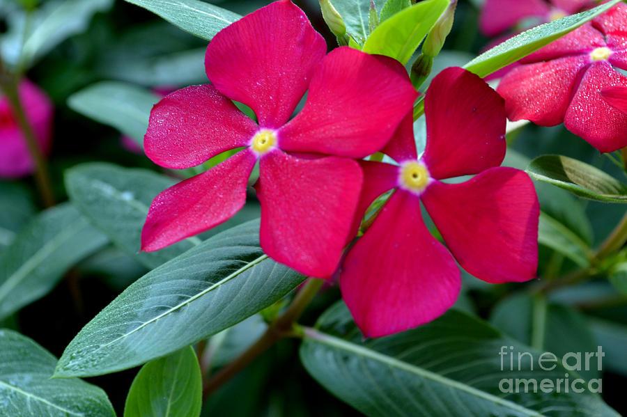 Botanical Photograph - Red Woodland Phlox Flowers by Eva Thomas