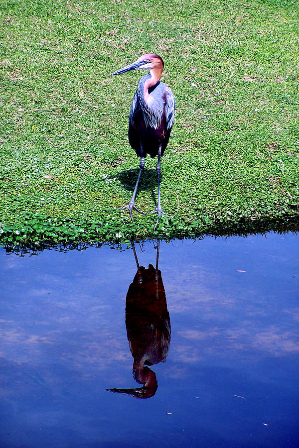 Nature Photograph - Reddish Egret  by Michelle Harrington