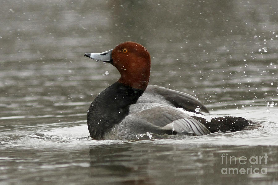 Canadian Photograph - Redhead Duck Flapping Its Wings by Inspired Nature Photography Fine Art Photography