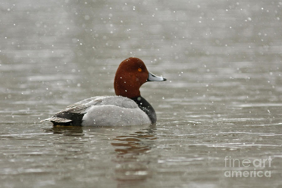 Canadian Photograph - Redhead Duck In Winter Snow Storm by Inspired Nature Photography Fine Art Photography