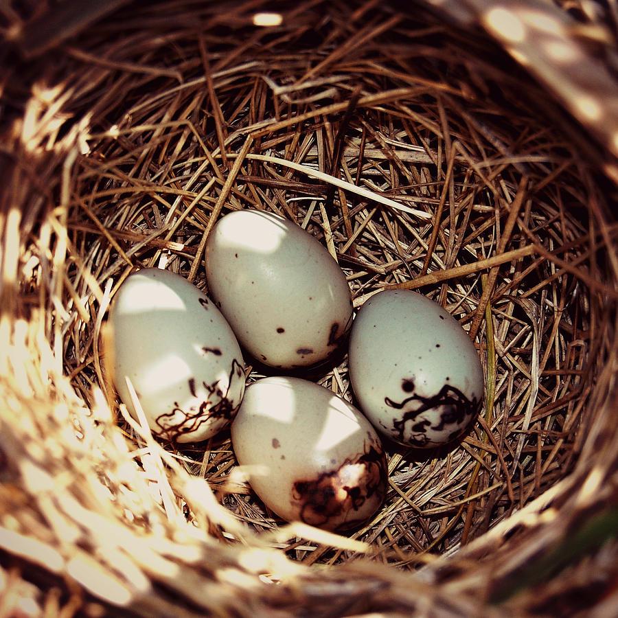 redwing blackbird eggs photograph by amy schauland