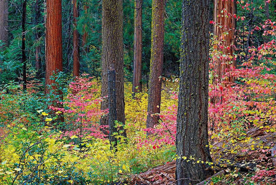 Autumn Photograph - Redwoods And Dogwoods by Tim Fleming