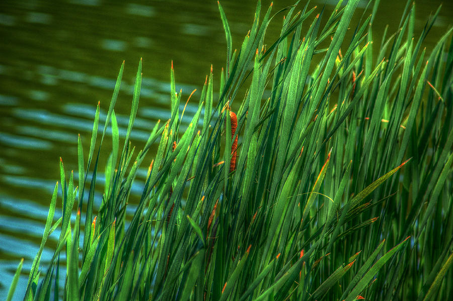 Reed Photograph - Reed Amoung Grass by Ronald T Williams