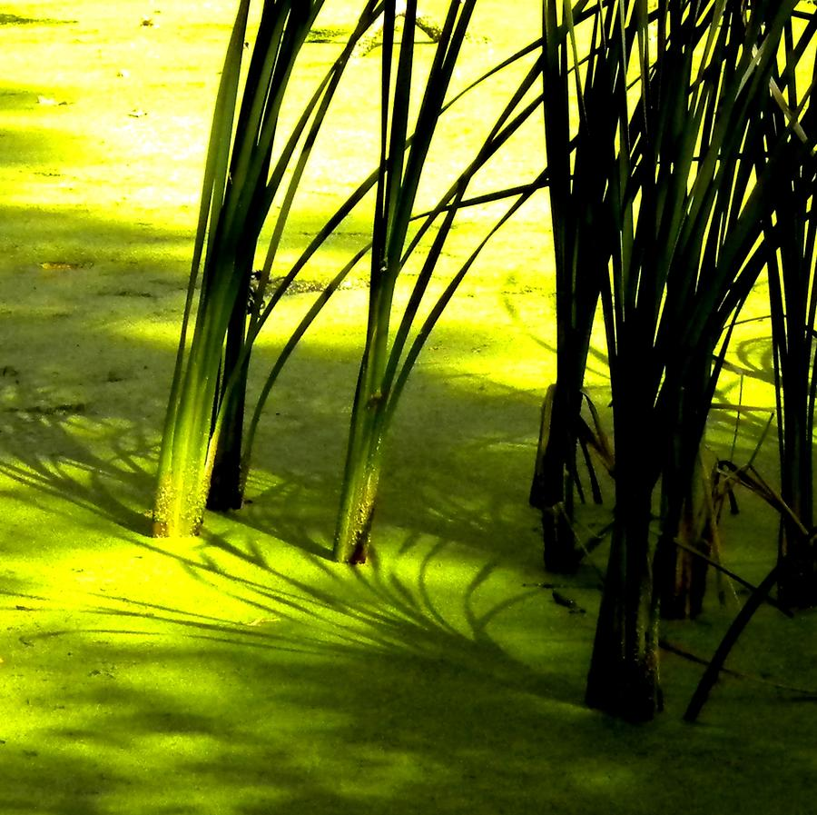Green Photograph - Reeds In Pond by Renate Nadi Wesley