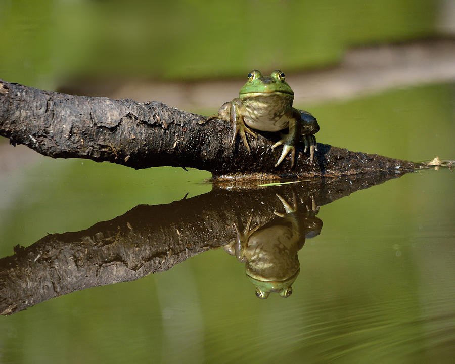 Frog Photograph - Reflecktafrog by Susan Capuano