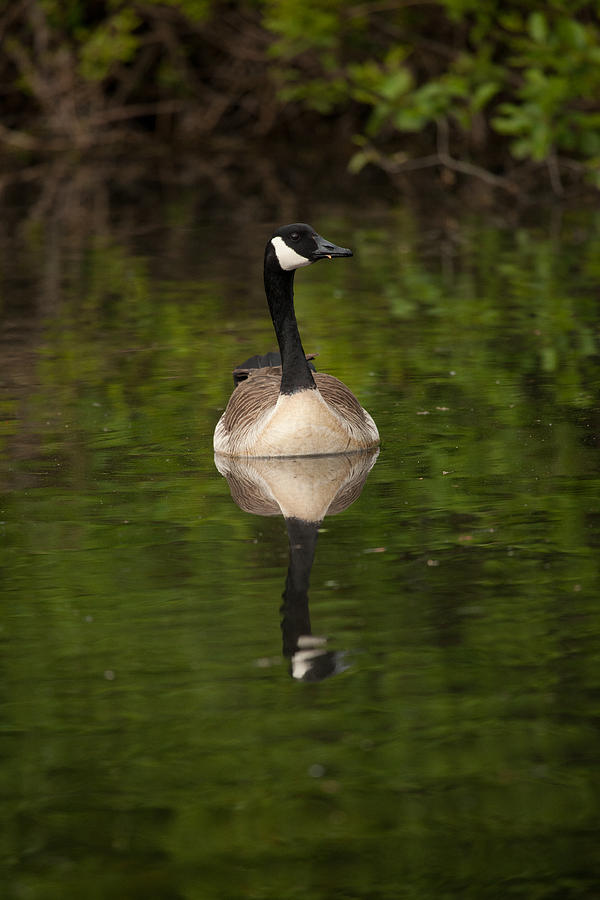 Canadian Geese Photograph - Reflecting by Karol Livote