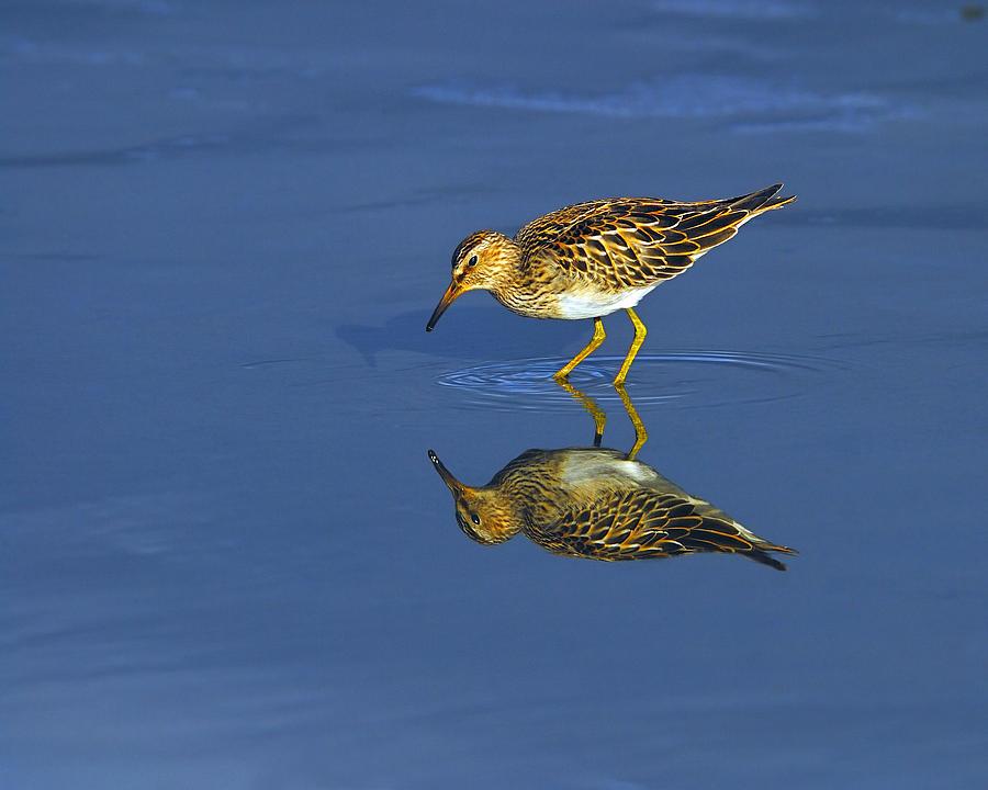Pectoral Sandpiper Photograph - Reflecting Pectoral Sandpiper by Tony Beck