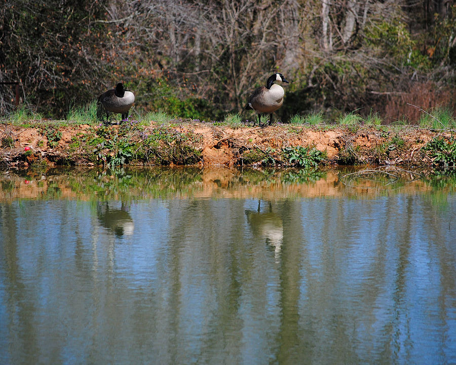 Goose Photograph - Reflections by Jai Johnson