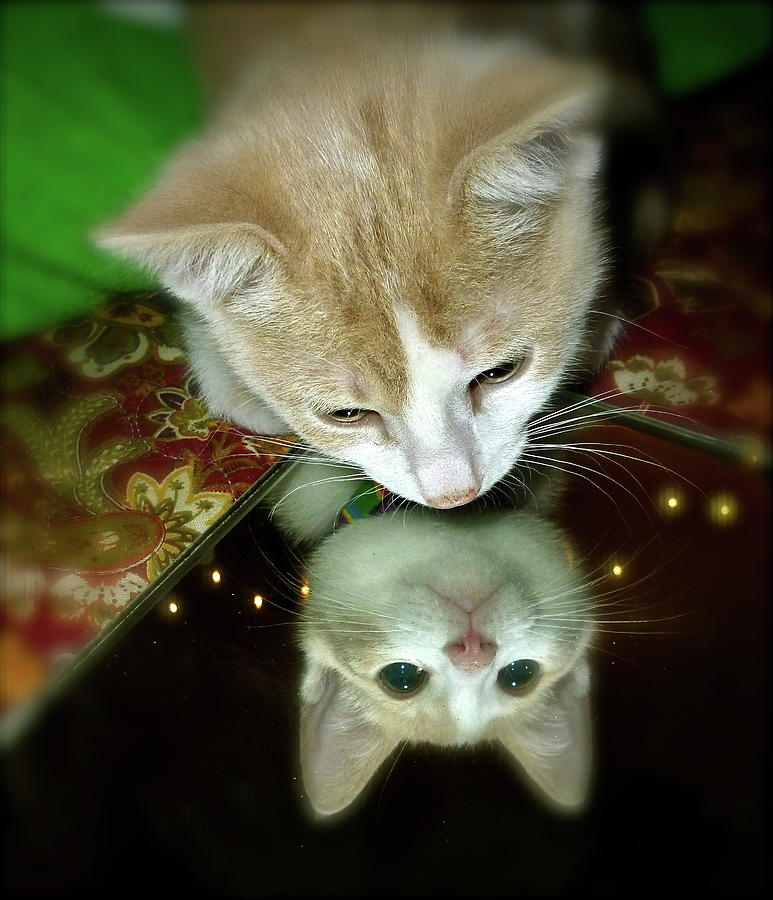 Kitten Photograph - Reflections by Julie McDoniel