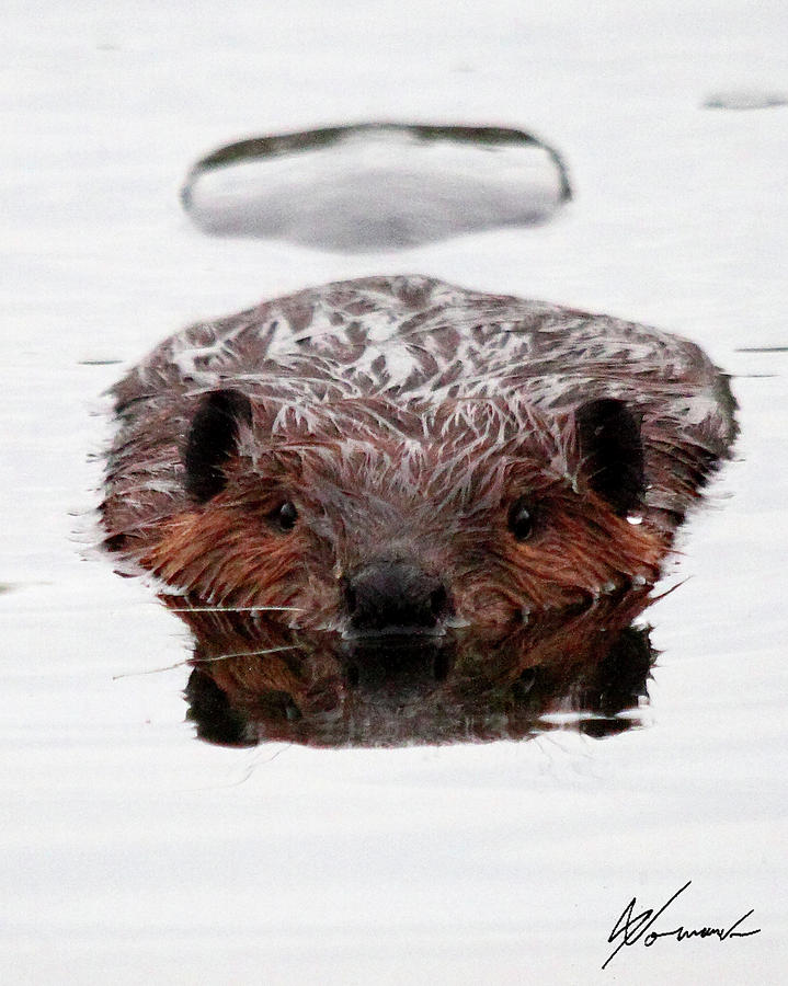 Beaver Tail Photograph - Reflections by Sarah  Lalonde