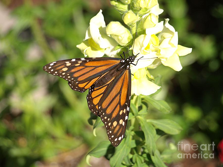 Butterfly Photograph - Monarch Butterfly Feeding On A Cluster Of Yellow Flowers by Jessica Foster