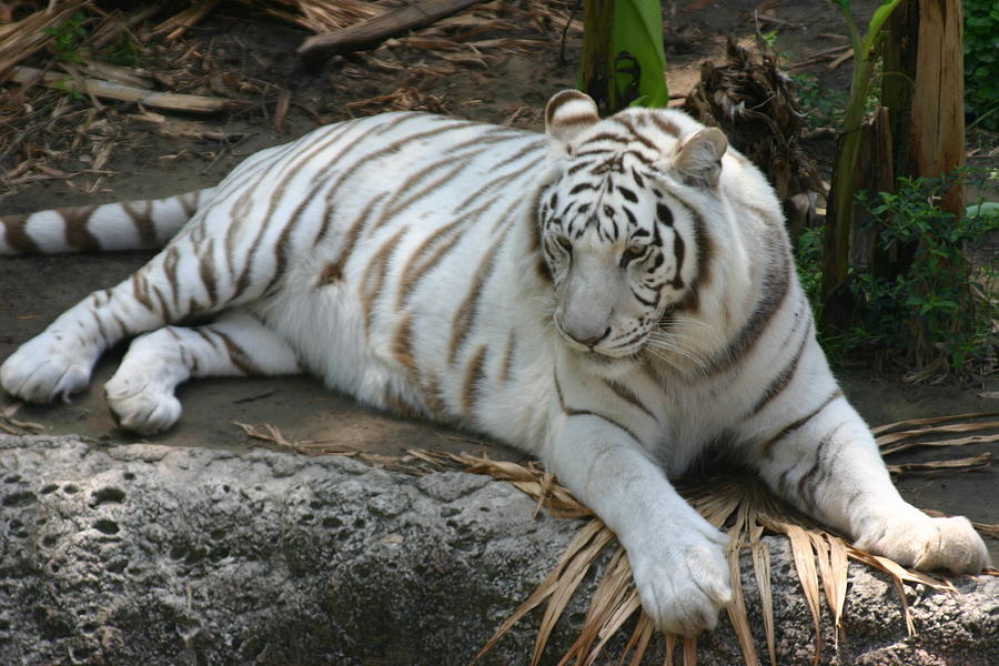 Tiger Photograph - Relax by Stephanie Hopkins