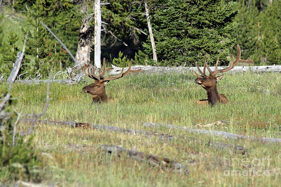 Elk Photograph - Relaxed Elk by Shawn Naranjo