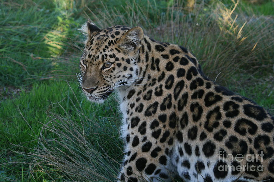 Chill Photograph - Relaxing Leopard by Carol Wright