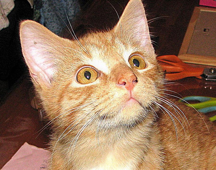 Orange Photograph - Rescue Kitty Max by Victoria Sheldon
