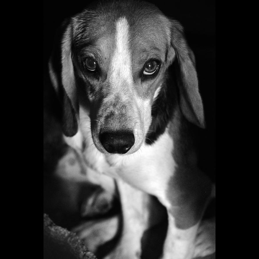 Beagle Photograph - Rescued 6 by Laura Melis