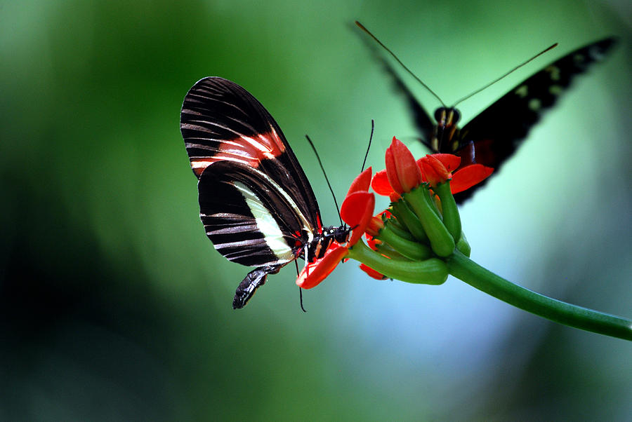 Butterflies Photograph - Reservations For Two by Skip Willits