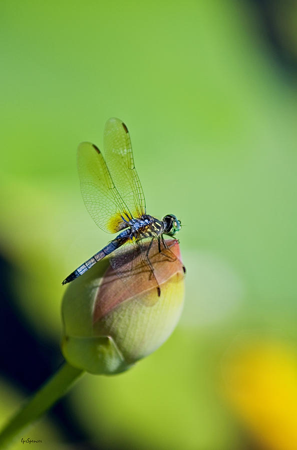 Dragon Fly Photograph - Resting On A Lily by Lisa  Spencer