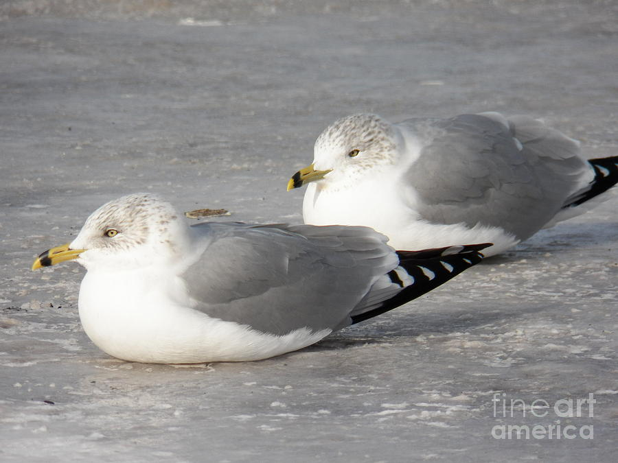 Terns Photograph - Resting On The Ice by Judy Via-Wolff