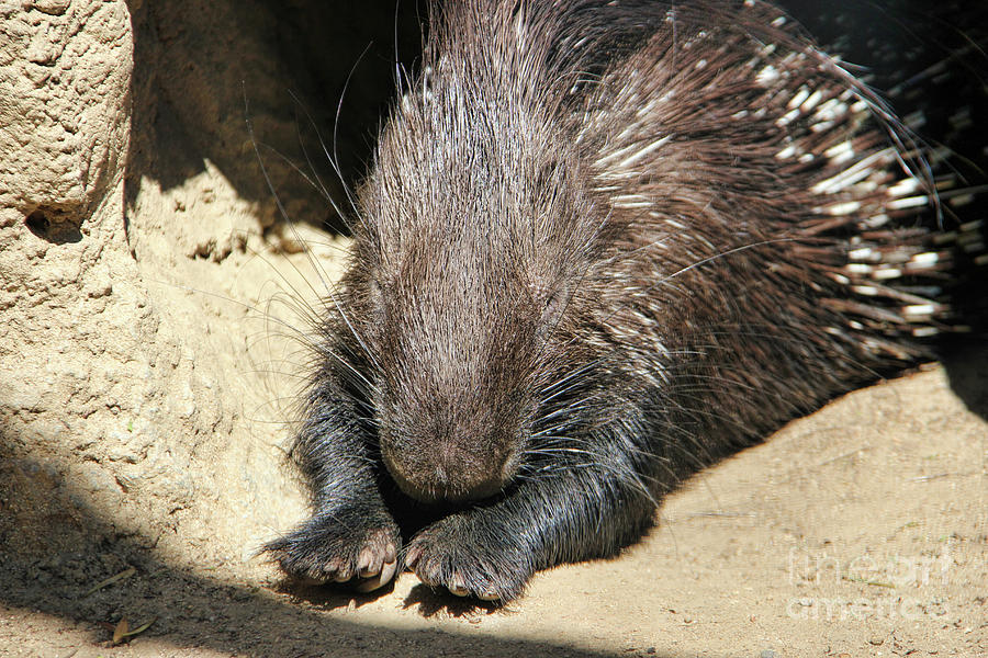 Indian Photograph - Resting Porcupine by Mariola Bitner