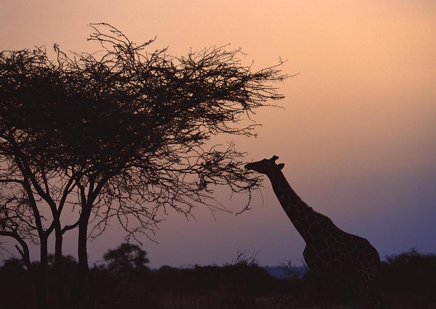 Horizontal Photograph - Reticulated Giraffe by Datacraft Co Ltd