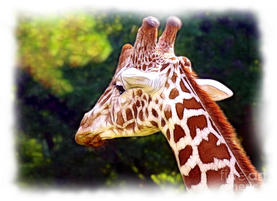 Reticulated Photograph - Reticulated Giraffe by Judi Bagwell
