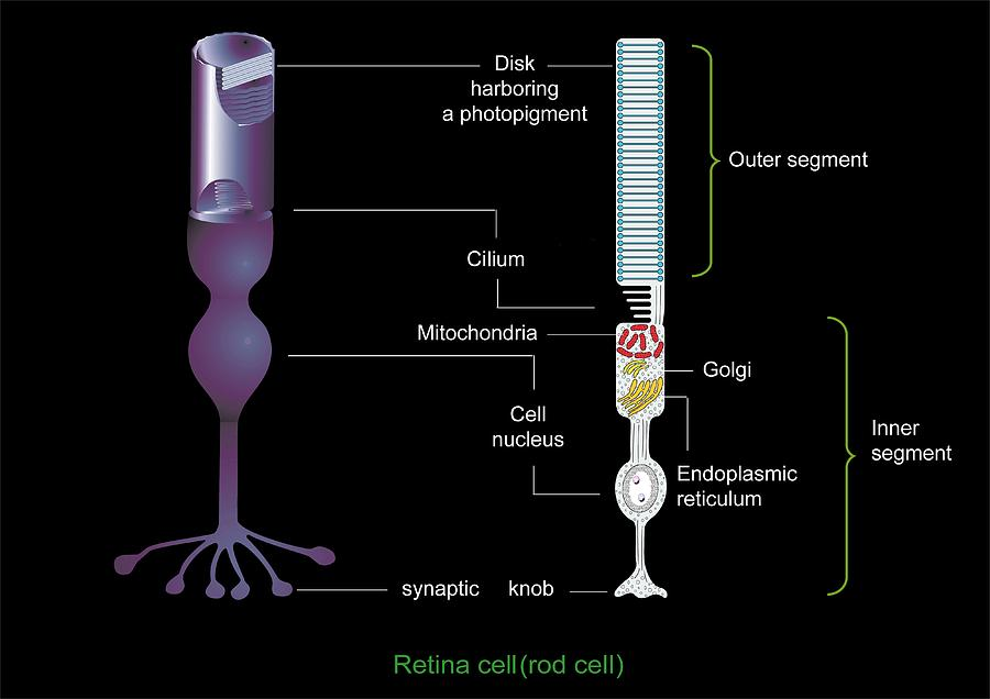 Retinal Rod Cell Anatomy  Diagram Photograph By Francis