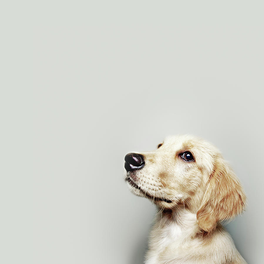 Square Photograph - Retriever Pup by J W L Photography