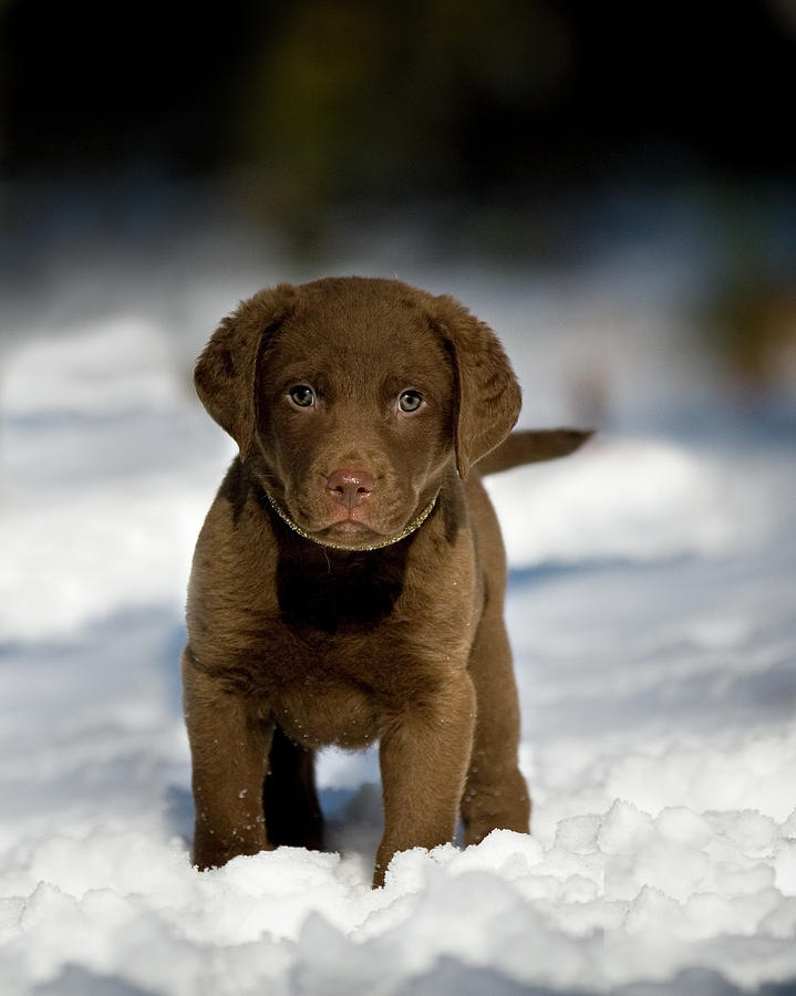 Vertical Photograph - Retriever Puppy In Snow by Copyright © Kerrie Tatarka