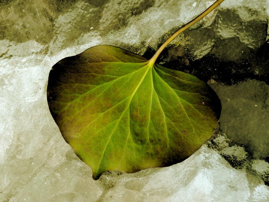 Ivy Photograph - Reverse Ivy by Beth Akerman