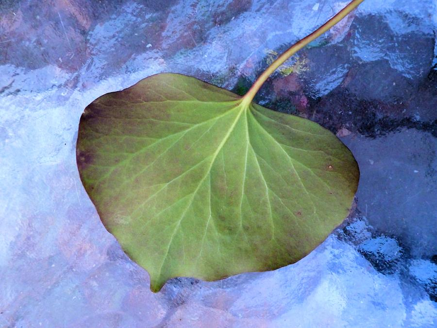 Ivy Photograph - Reverse Ivy On Blue by Beth Akerman
