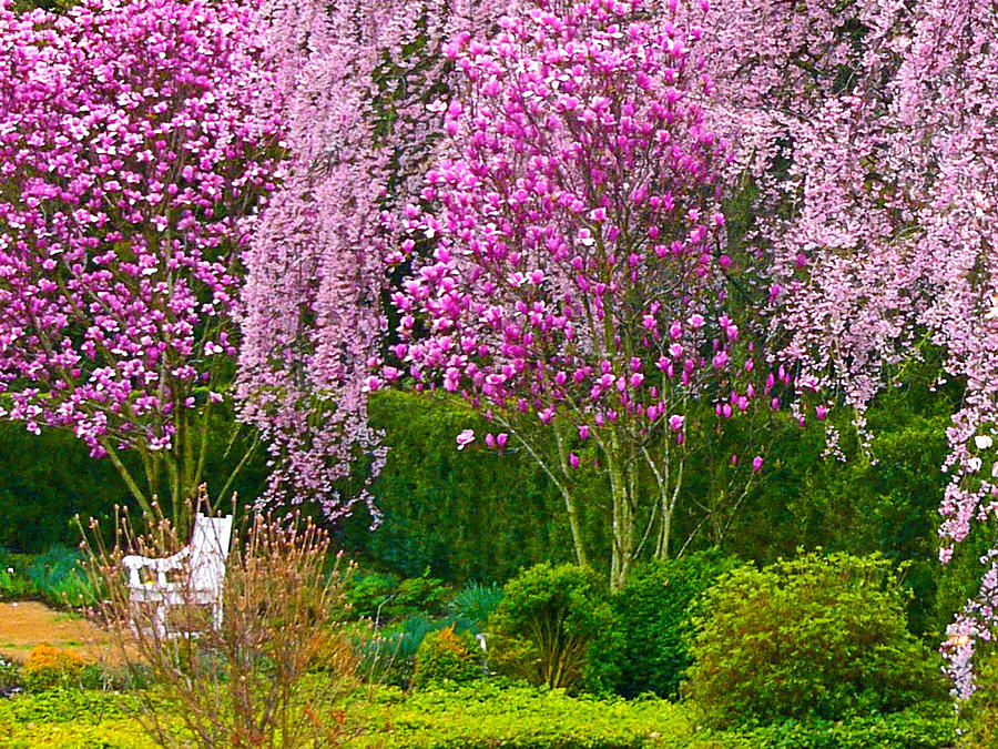 Superb Cherry Blossoms Photograph   Reynolda Gardens Reverie By Deborah Willard