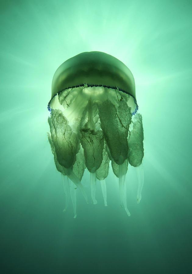 Vertical Photograph - Rhizostoma Pulmo Jellyfish by Underwater photography by Ivan Bakardjiev