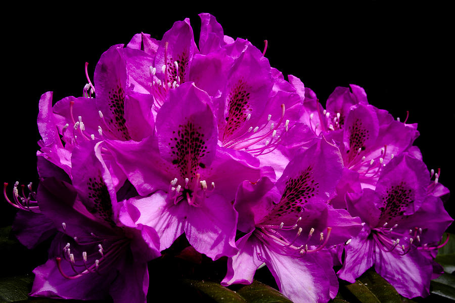 Rhododendron Photograph - Rhododendron by David Patterson