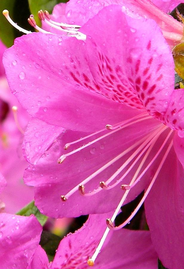 Rhododendron Photograph - Rhododendron Flower by Manuela Constantin